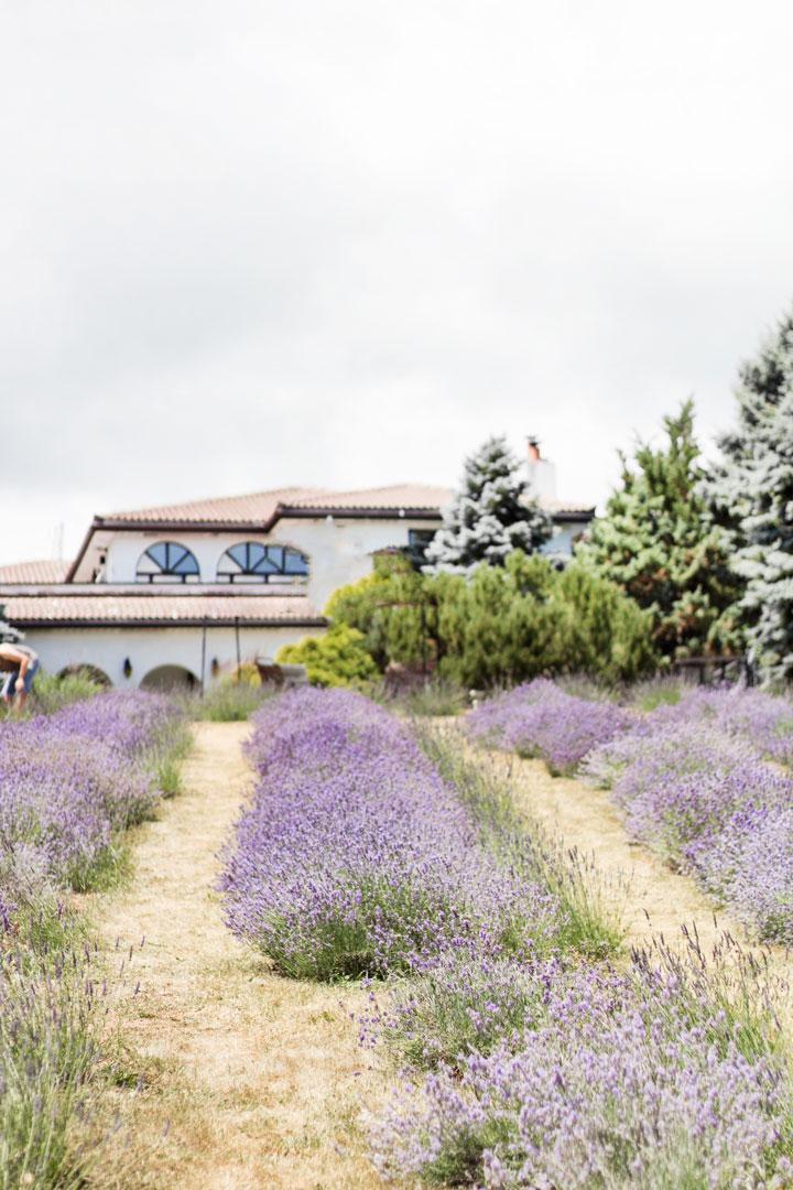 weirs-lane-lavender-10