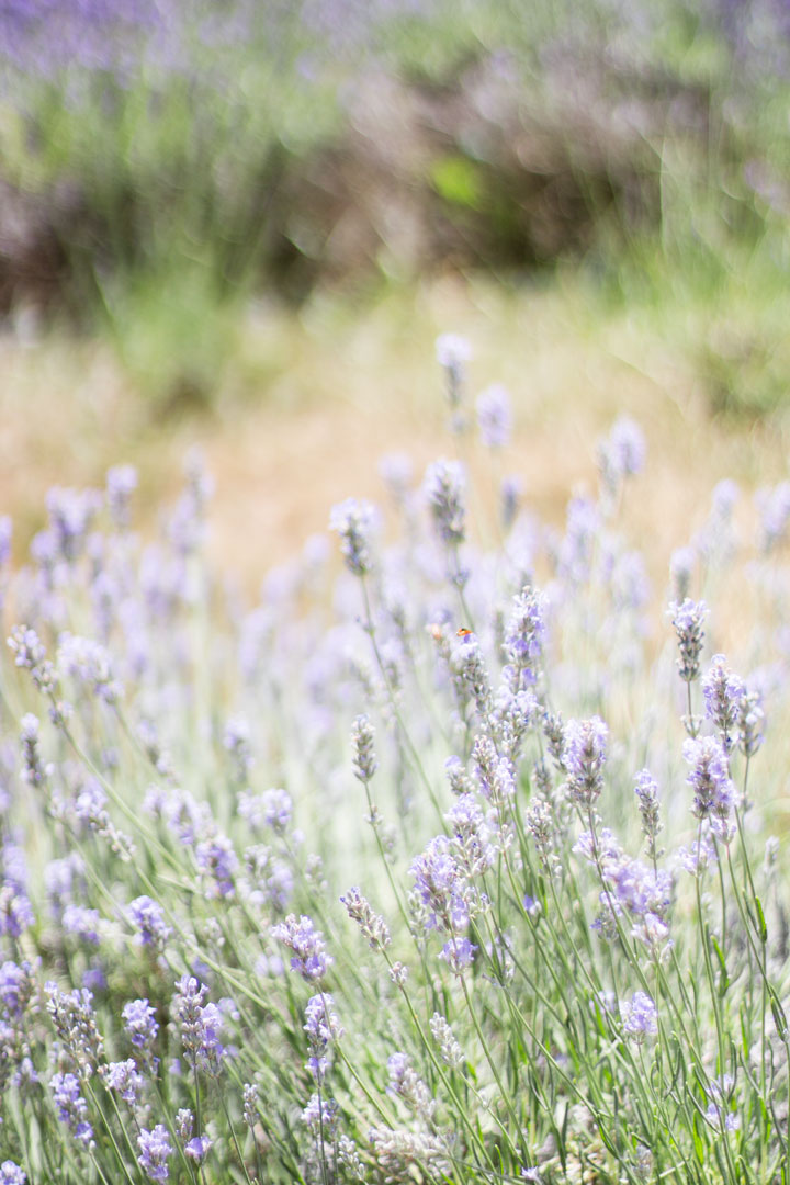 weirs-lane-lavender-2